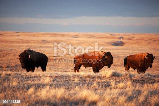 Bison grazing at Grasslands National Park Saskatchewan Canada.
