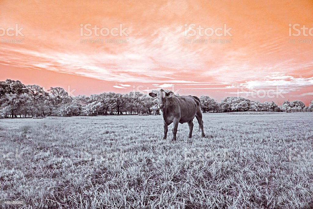 Grassy field with a cow stock photo