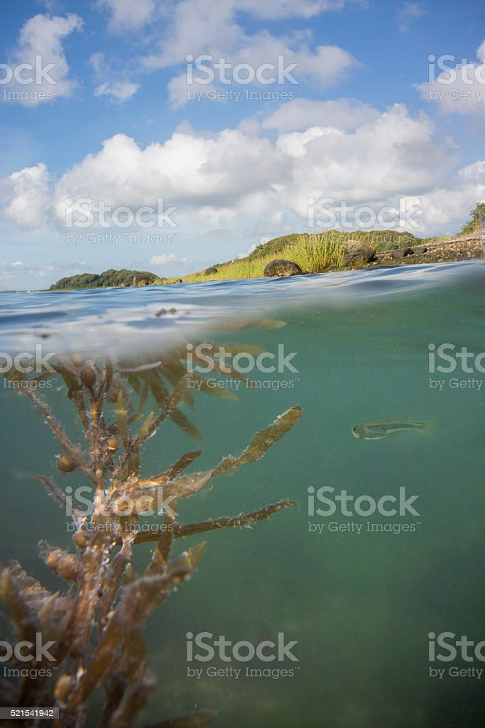 Grassy Shoreline at Water Surface with Kelp and Fish stock photo