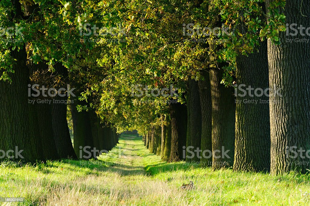 Grassy Tree lined farm road through ancient Oak Trees royalty-free stock photo