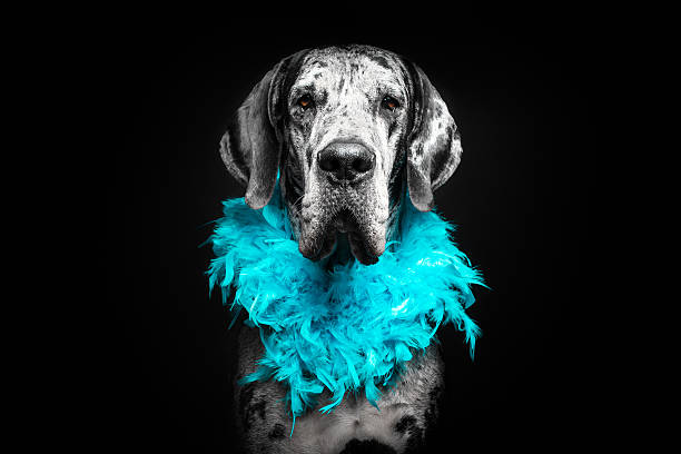 Grate Dane Dog Pet photography. Grate Dane Dog. animas river stock pictures, royalty-free photos & images