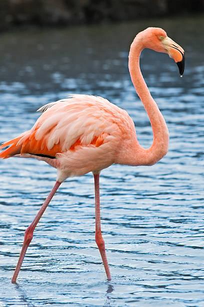 Grater flamingo, Galapagos stock photo
