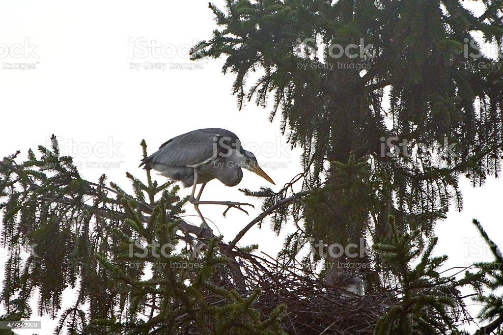 Graureiher an seinem Nest stock photo