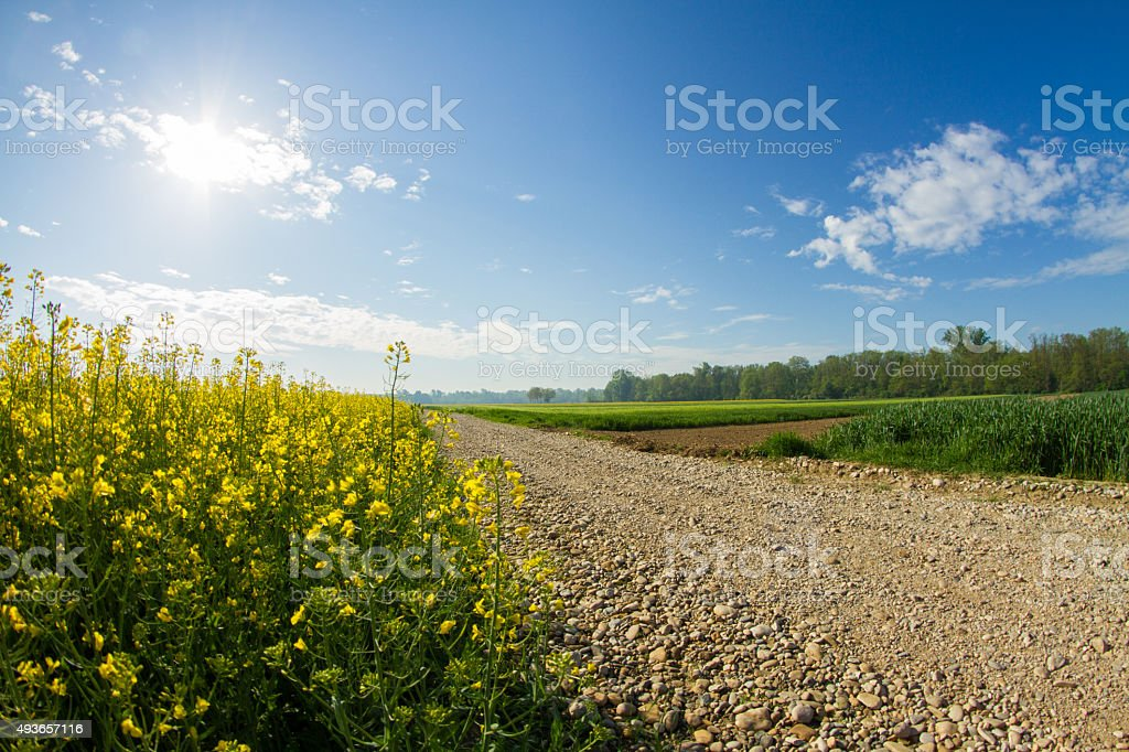 Gravel Road By Canola Field On Sunny Day stock photo