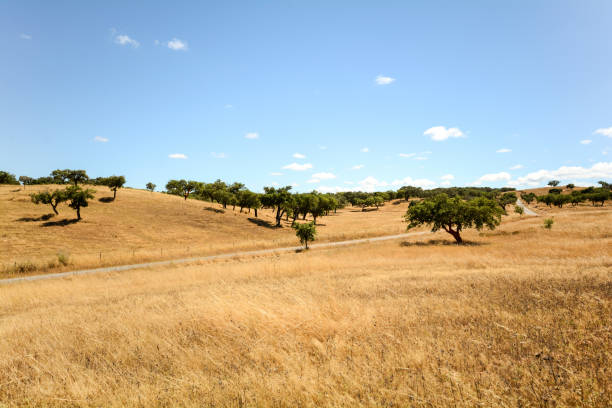 gravel road through hilly alentejo landscape with cork oak trees and yellow fields in late summer near beja, portugal europe - fotos de portalegre imagens e fotografias de stock