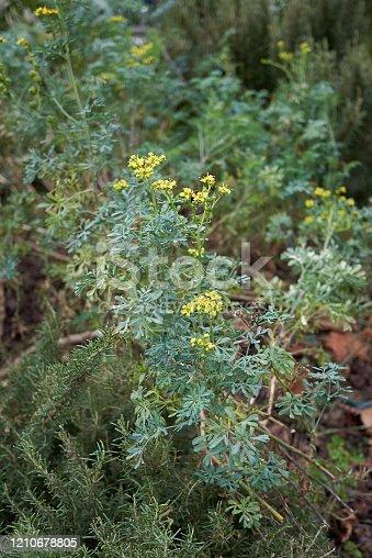 Ruta graveolens in bloom