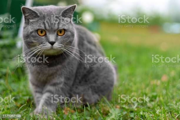 Gray adult british cat sitting in grass picture id1171052103?b=1&k=6&m=1171052103&s=612x612&h=ajaxa e0imyuwcq5bfkaxiwdv7s nlkuxo enk1nzf0=