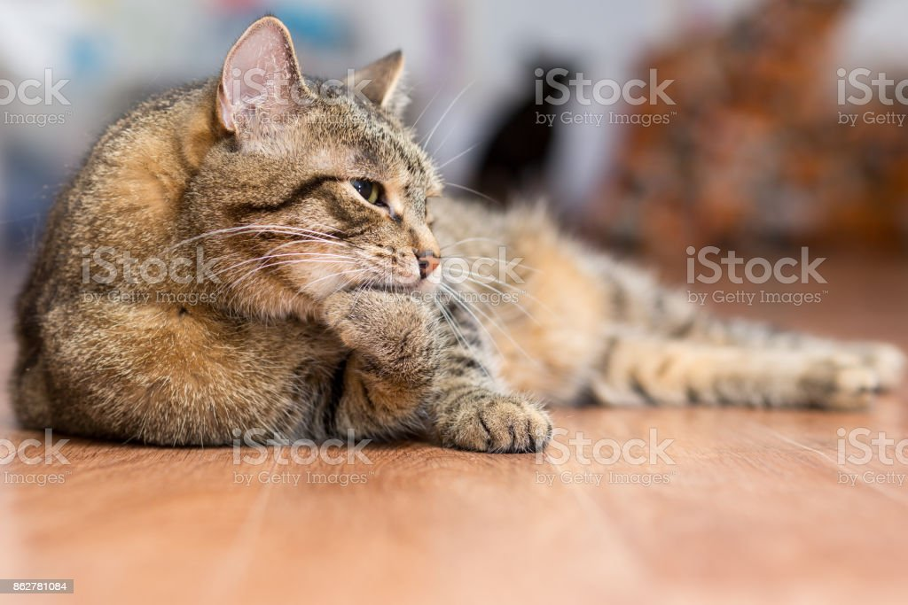 Gray adult cat lies on the floor and licks the paws stock photo