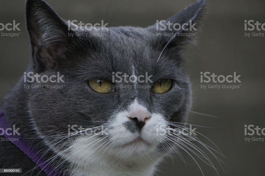 Gray and white cat close-up stock photo