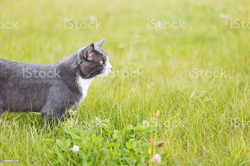 Gray and White Domestic Cat Hunting stock photo