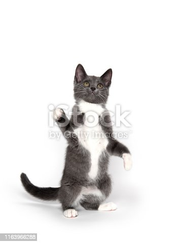 Cute gray and white kitten playing isolated on white background