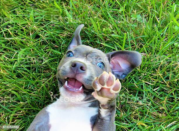 Photo of Gray And White Pit Bull Lying In Grass Showing Paw