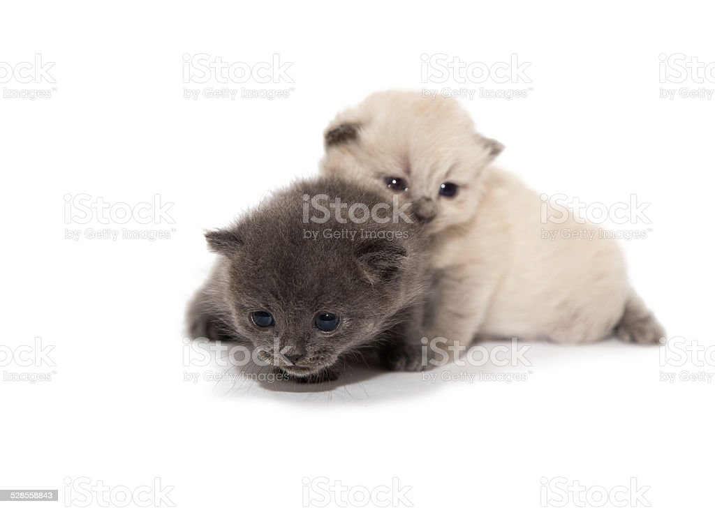 gray and white two little kitten stock photo