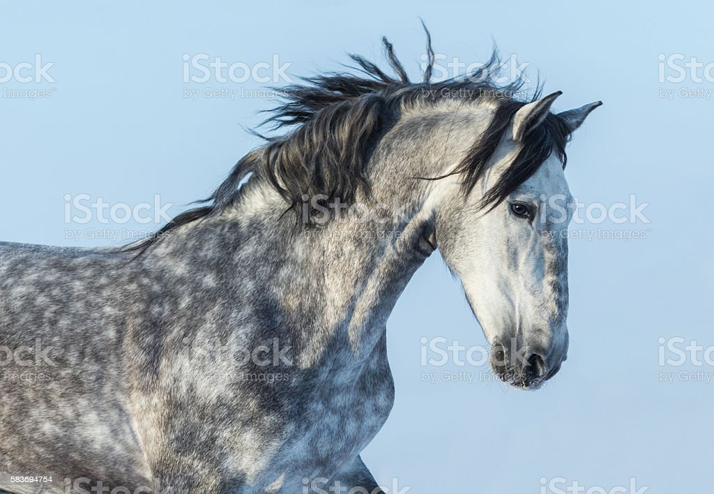 Gray Andalusian Horse in motion. Portrait of Spanish horse. stock photo