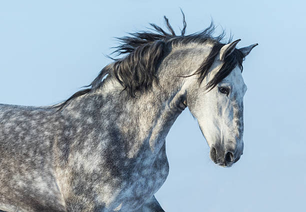 gray andalusian horse in motion. portrait of spanish horse. - one animal stock photos and pictures