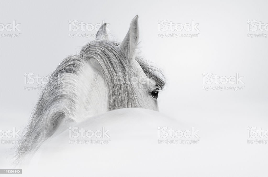 Gray Andalusian stallion stock photo