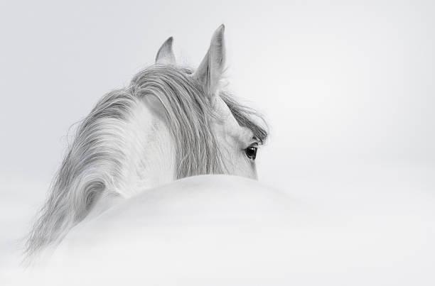gray andalusian stallion - 種馬 個照片及圖片檔