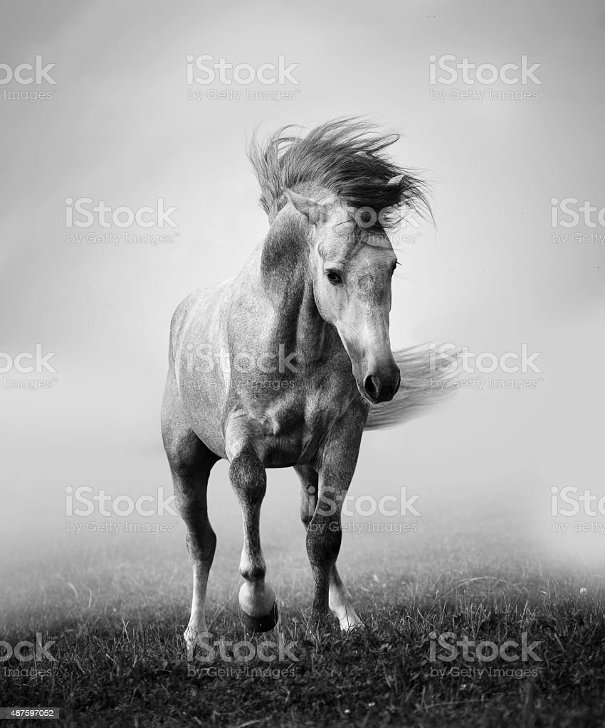 gray andalusian stallion playing in the myst stock photo