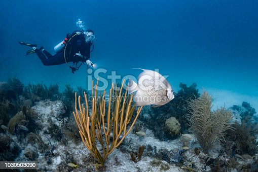 View of a female scuba diver and the gray angelfish (Pomacanthus arcuatus), grey angelfish or black angelfish, is a large angelfish of the family Pomacanthidae