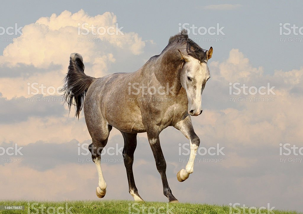 gray arab stallion stock photo