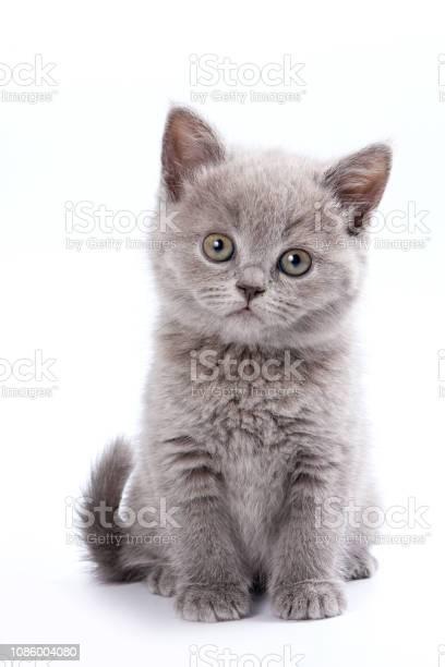 Gray british cat kitten picture id1086004080?b=1&k=6&m=1086004080&s=612x612&h=uqz3sfz v821d2ehpj4weqmgwksvhmbcm139yudgnpy=