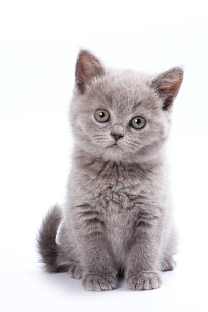 Gray british cat kitten picture id1086004080?b=1&k=6&m=1086004080&s=612x612&w=0&h=grjf6vcwj2zsppgvh2chq02ytvifyz7bgyqyd9asbdw=