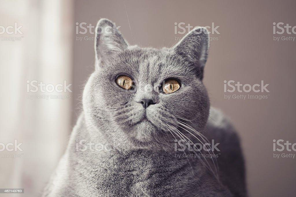 .Gray british cat lying near the window close up stock photo