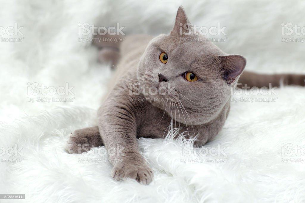 gray British cat on a white background stock photo