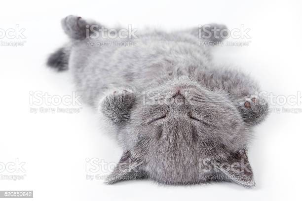 Gray british fluffy kitten lying on his back picture id520550642?b=1&k=6&m=520550642&s=612x612&h=wtmjtm3pkox9npx1eicv9zqd1hstddzsivlvmet3tam=