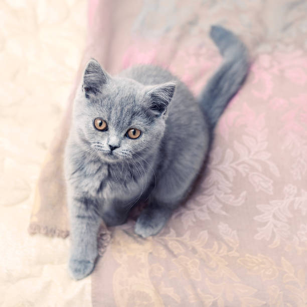 Gris kitty Britannique aux yeux ambre - Photo