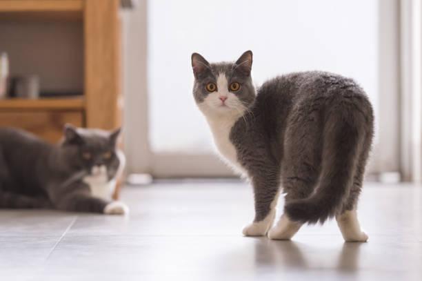 Cinza britânico gatas, dentro de casa - foto de acervo