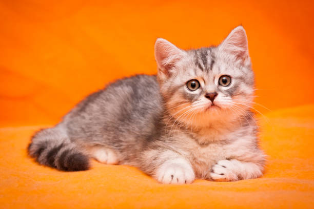 Gray British young cat lying on an orange background stock photo