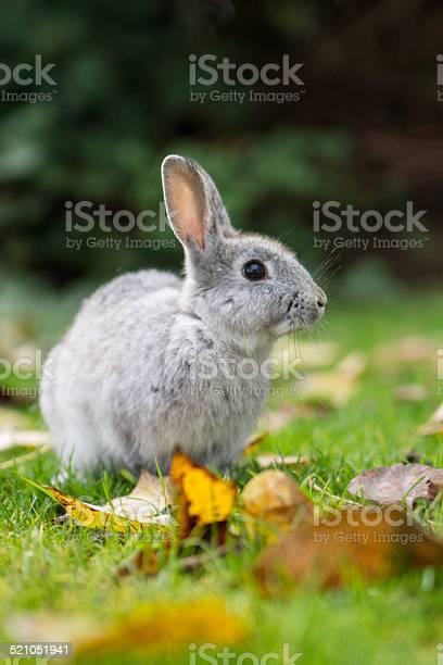 Gray bunny picture id521051941?b=1&k=6&m=521051941&s=612x612&h=5rnwr5ecat2j05j8ohkqthipsobsf0grq1eazpaqnqs=