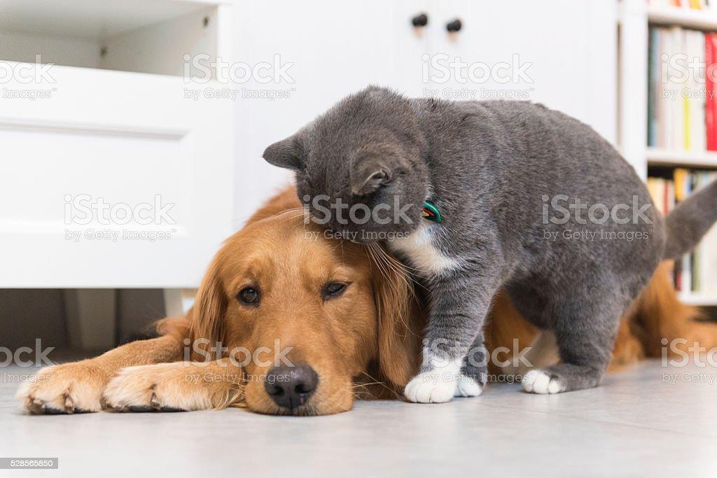 Gato cinzento e Labrador Dourado - foto de acervo
