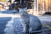 Gray cat chubby pussy cat in old village. Cat in the ancient village of Tsumagojuku Village, Nagano City, Japan.