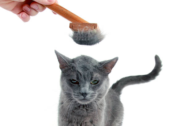 gray cat combed wool brush on the head stock photo