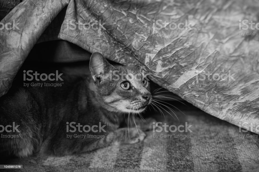 Gray Cat Hiding Under Bed Cover Stock Photo More Pictures Of
