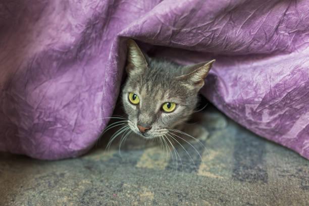 graue katze versteckt unter bettdecke - lila, grün, schlafzimmer stock-fotos und bilder