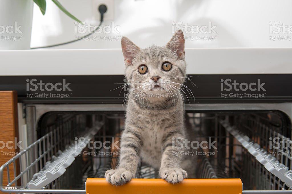 gray cat in dishwasher stock photo
