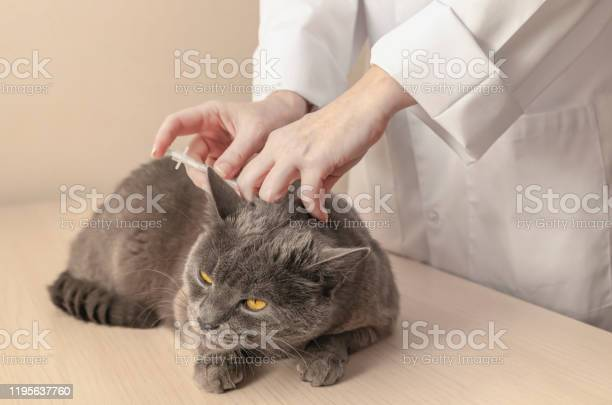 Gray cat is getting a vaccine at the veterinary clinic professional picture id1195637760?b=1&k=6&m=1195637760&s=612x612&h=keml8fpfvzjahm90gk9wqu brjgjl6cilnoporv89t0=