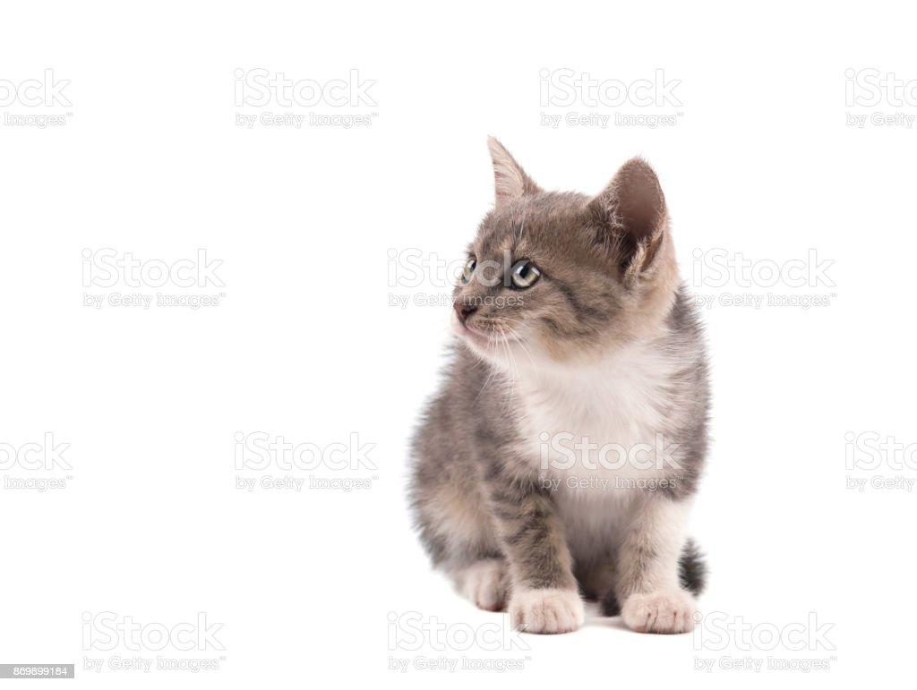 Graue Katze Isoliert Auf Einem Weißen Hintergrund Porträt Von Einem ...