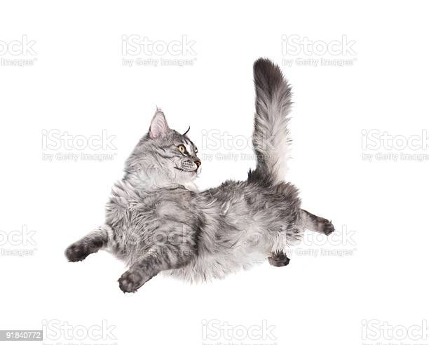 Gray cat jumping and looking at its straight tail picture id91840772?b=1&k=6&m=91840772&s=612x612&h=b09jw2r2gotfvoccvpeeyzqgvyyiabmdq7abuveyo2y=