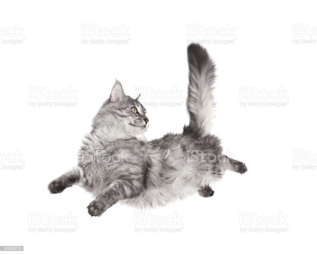 Gray cat jumping and looking at its straight tail stock photo