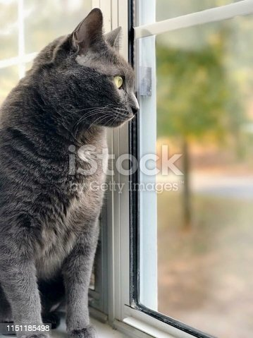 Gray cat looking out window
