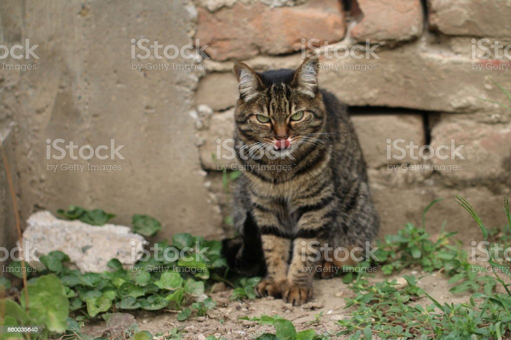 Gray cat looks with an angry look stock photo