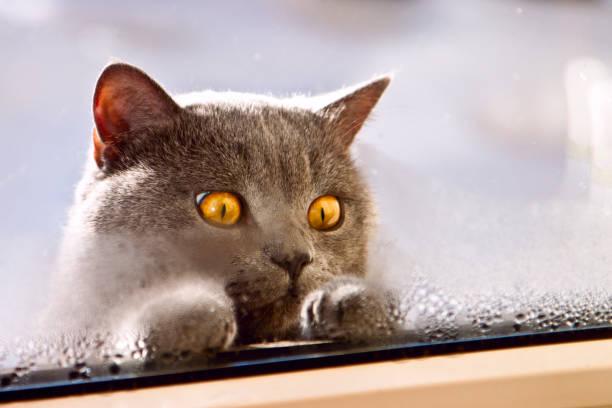 Gray cat of british breed with big yellow eyes looking inside the picture id851665900?b=1&k=6&m=851665900&s=612x612&w=0&h=nywe4qmuht8srudodzlkbaqw8ldupiqtfjqr zbrpfw=