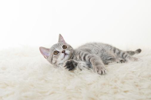 British sort hair kitten on white background