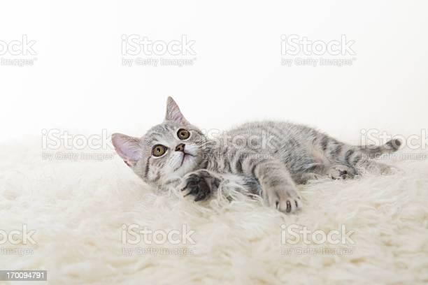 Gray cat picture id170094791?b=1&k=6&m=170094791&s=612x612&h=wnxzn1owxfp3fhyoa27qkugvmynxoizugm5xpse1ctm=