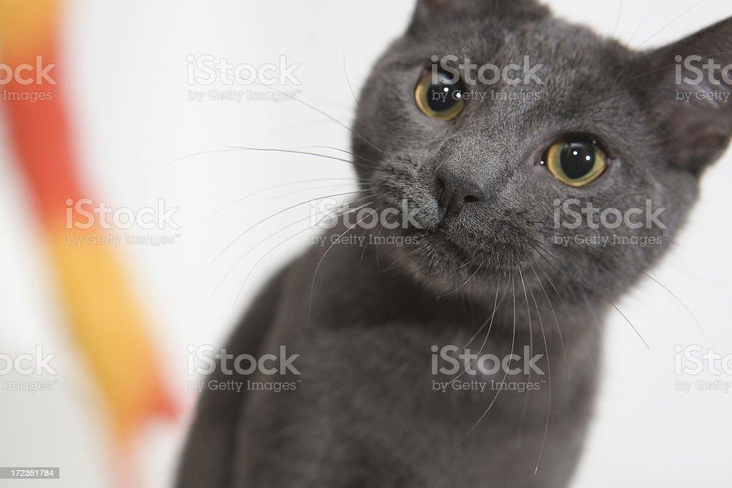 Gray Cat foto de stock libre de derechos