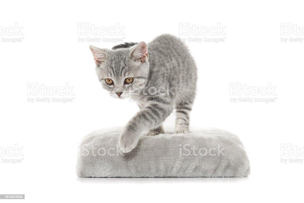 gray cat royalty-free stock photo